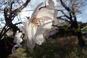 Sakura1_s