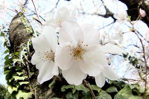 Sakura2_s